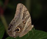 Owl Butterfly - Caligo mennon