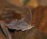 Pierella hyalinus