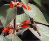 Little Hermit - Phaethornis longuemareus