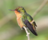 Tufted Coquette - Lophornis ornatus, immature male