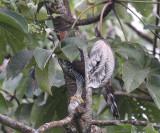 Ornate Hawk-Eagle - Spizaetus ornatus