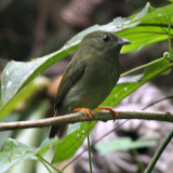 White-bearded Manakin female - Manacus manacus