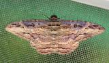 Trinidad & Tobago Moths