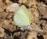 Leuce Yellow - Pyrisitia leuce athalia