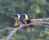 Channel-billed Toucans - Ramphastos vitellinus