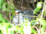 Red-billed Tropicbird - Phaethon aethereus, on its nest