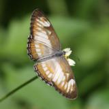 South American Mestra - Mestra hersilia hersilia