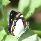 White Sailor - Dynamine theseus