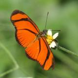 Small Flambeau - Eueides aliphera
