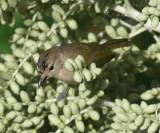 Scrub Greenlet - Hylophilus flavipes