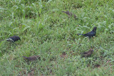 Shiny Cowbirds - Molothrus bonariensis