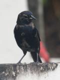 Shiny Cowbird male - Molothrus bonariensis