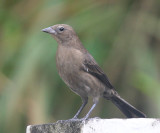 Shiny Cowbird female - Molothrus bonariensis