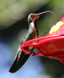 Black-throated Mango female - Anthracothorax nigricollis