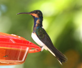 White-necked Jacobin - Florisuga mellivora, immature male