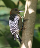 Red-crowned Woodpecker male - Melanerpes rubricapillus