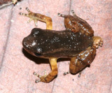 Yellow-throated Frog - Mannophryne Mannophryne trinitatis