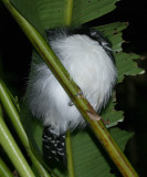 Great Antshrike male - Taraba major