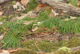 Southern Ground Cedar - Diphasiastrum digitatum