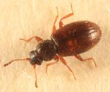 Corticaria varicolor