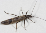 Winter Stoneflies - Taeniopterygidae