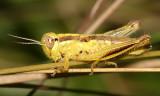 Two-Striped Grasshopper - Melanoplus bivittatus (4th instar)