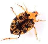 Peltodytes pedunctulatus