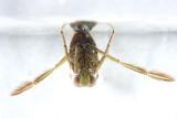Notonecta undulata
