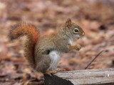 Red Squirrel - Tamiasciurus hudsonicus
