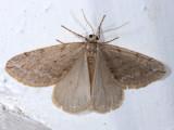 6662 - Spring Cankerworm - Paleacrita vernata