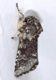 10007 -- Major Sallow Moth -- Feralia major