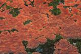 Peniophora rufa