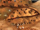 Blue-spotted Salamander egg mass - Ambystoma laterale