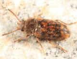 Mycetophagus pluripunctatus