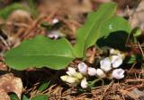 Trailing Arbutus - Epigaea repens