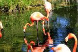 Greater Flamingo at Grand Palladium Resort