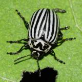 Eleven-lined Potato Beetle - Leptinotarsa undecimlineata