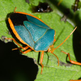 Red-bordered Stink Bug - Edessa rufomarginata