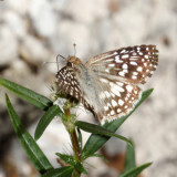 Tropical Checkered Skipper - Pyrgus oileus
