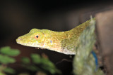 Neotropical Green Anole - Anolis biporcatus