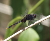 Black Pondhawk - Erythemis attala