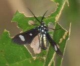 Wasp Moth - Leucotmemis nexa