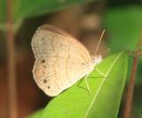 Carolina Satyr - Hermeuptychia sosybius