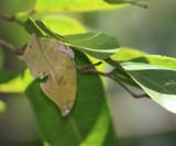 Ghost Leafwing - Zaretis callidryas