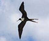 Magnificent Frigatebird - Fregata magnificens