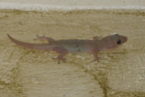 House Gecko - Hemidactylus mabouia