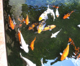 Koi in the Grand Palladium ponds
