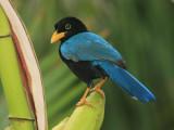 Yucatan Jay - Cyanocorax yucatanicus