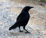 Melodious Blackbird - Dives dives