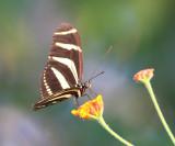 Zebra Heliconian - Heliconius charithonia